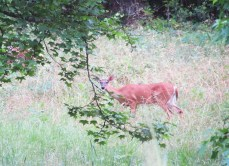 Whitetail deer, she thinks she and her friend (upper left) are hidden.