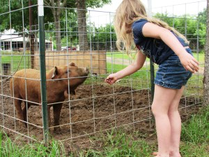 Addie feeding the older red wattle pig.  It was all fun and games until he bit her finger.