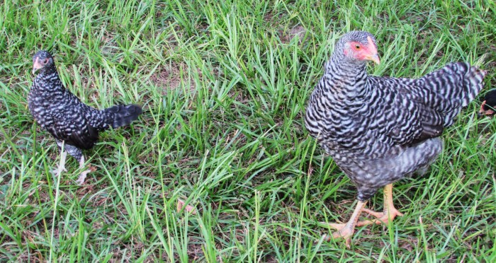 She is like a mini Barred Rock.