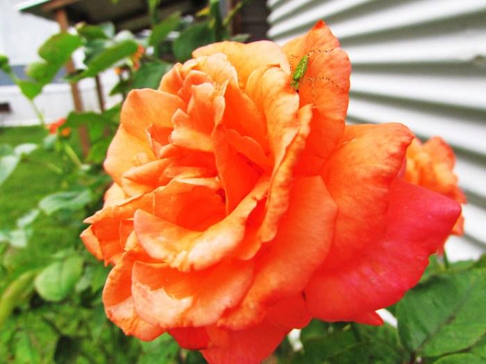rose bug
