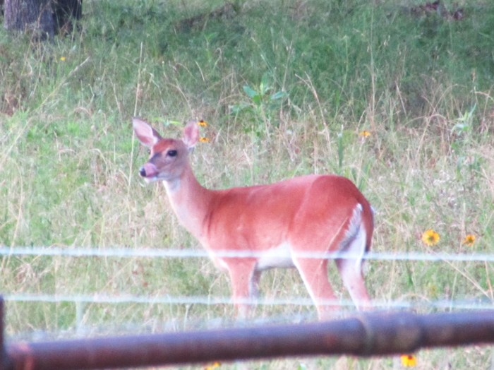 Not only is this mama deer licking her lips.  She is licking her lips looking directly at my corn that is almost ready to be harvested.