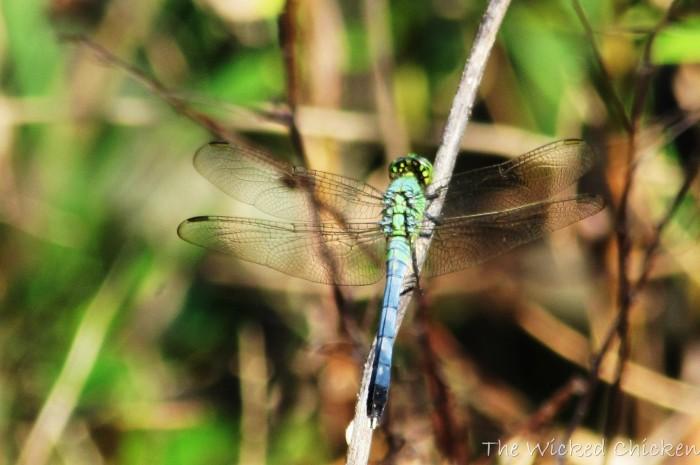 walk dragonfly