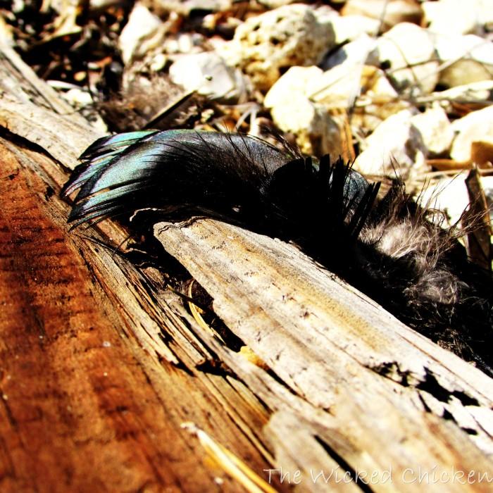 walk feather