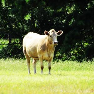 cow walk