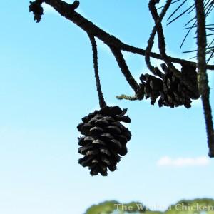 pine cone walk