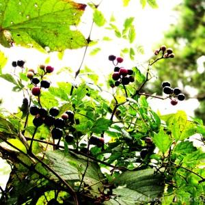 walk vine