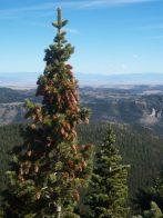 Lone Conifer.