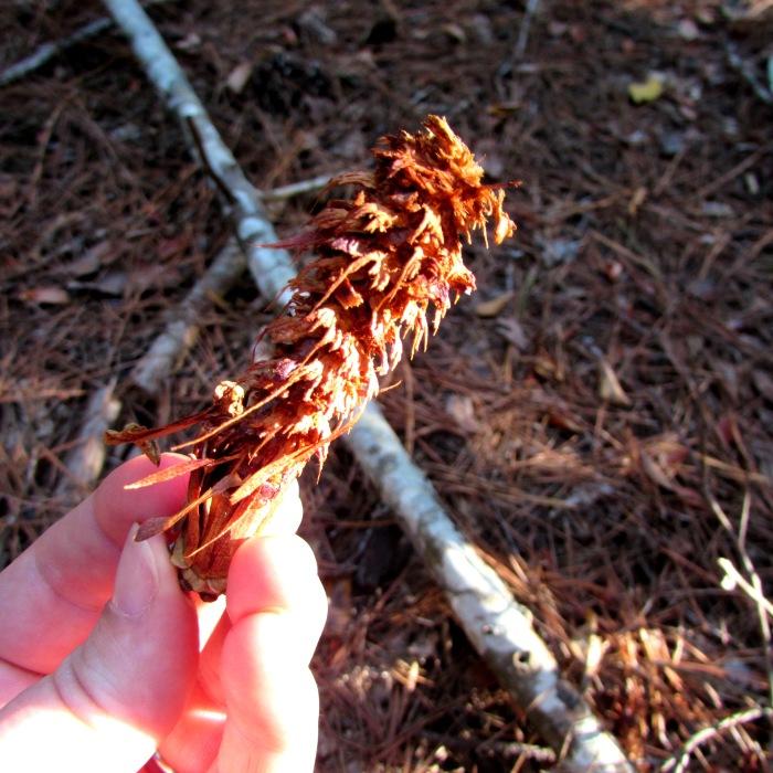 walk pine cone