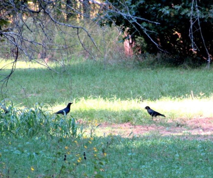 walk crow