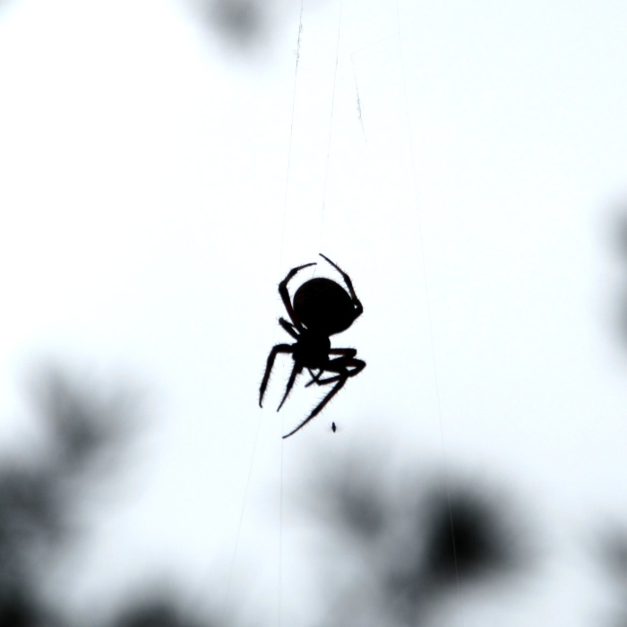 walk spider