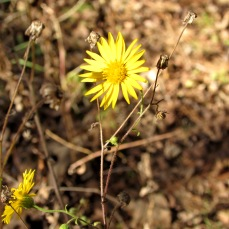 walf flower