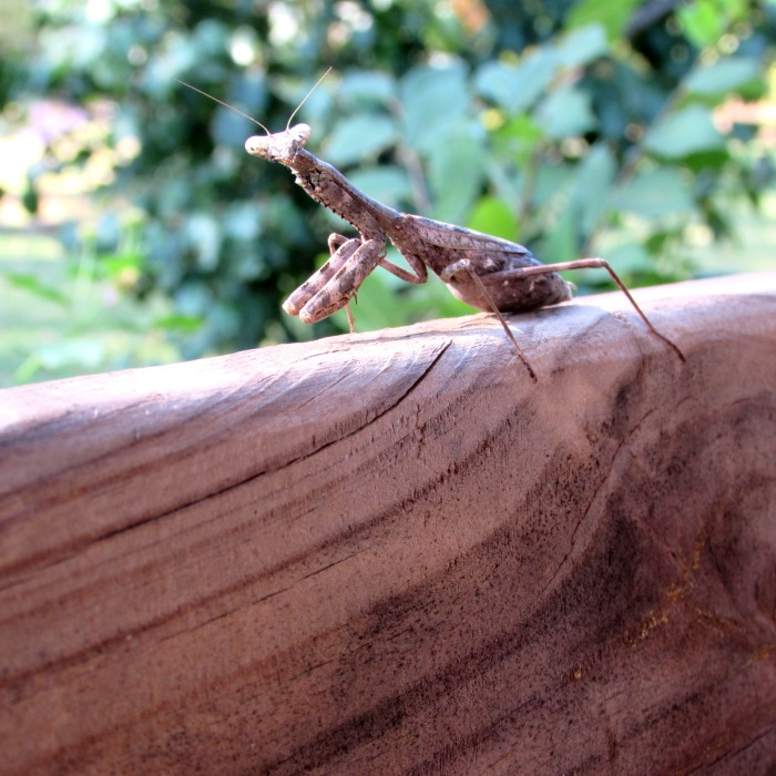 walk bug