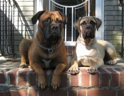 How Big Do Bull Arab Dogs Get