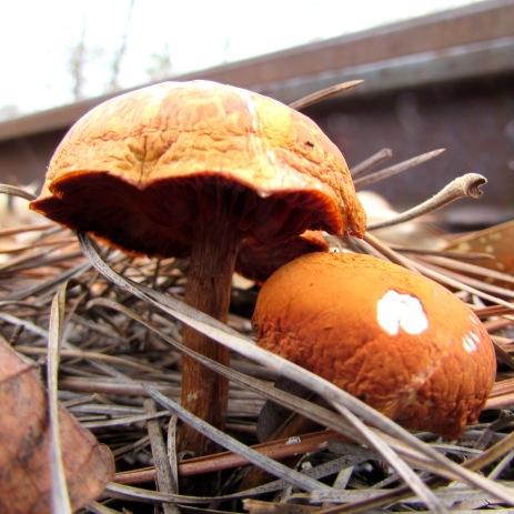 Mushrooms growing in the train tracks.