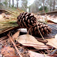 More pinecones on the train tracks.