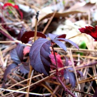 Blackberry leaves.