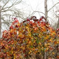 Sweetgum trees still holding on.