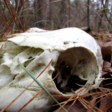 skull in the woods.