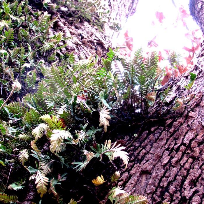 walk fern