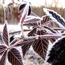 frost bush
