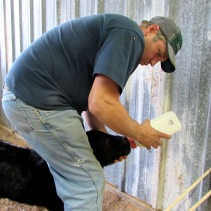 calf rob