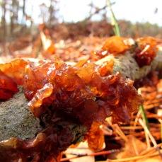 cabin fungi