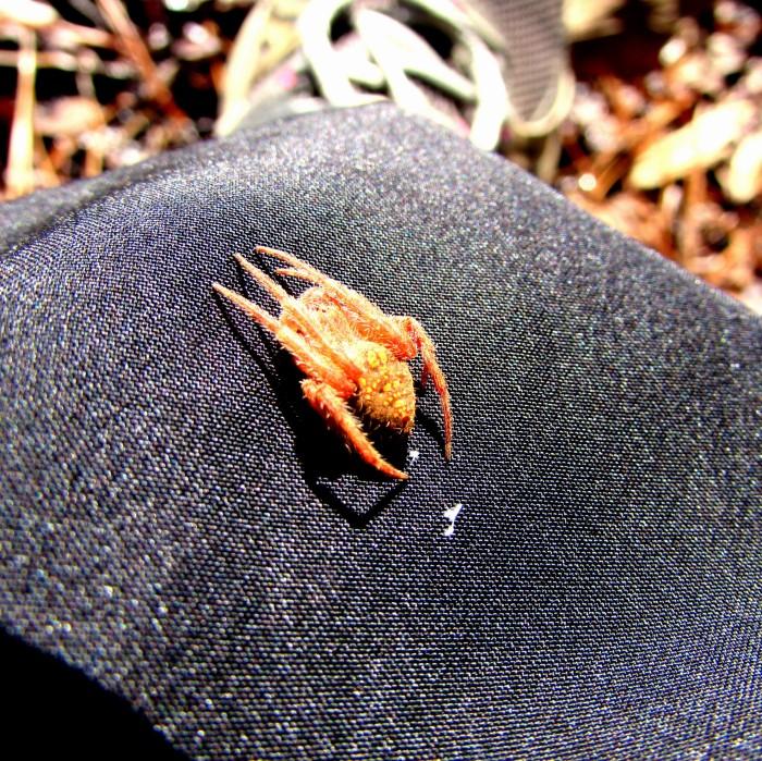 cabin spider