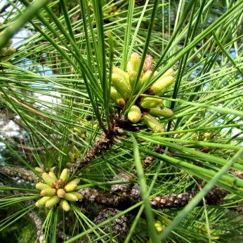 walk pine tree