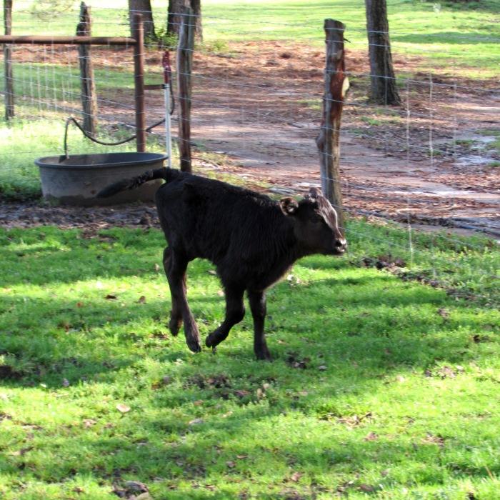 Rachel calf