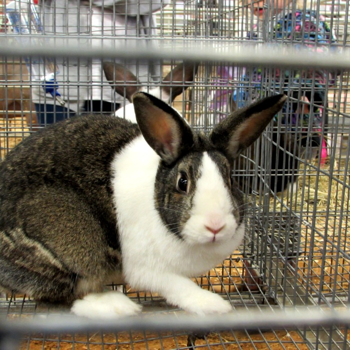 show rabbit