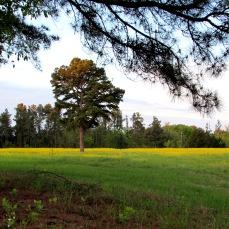 tree sunrise field