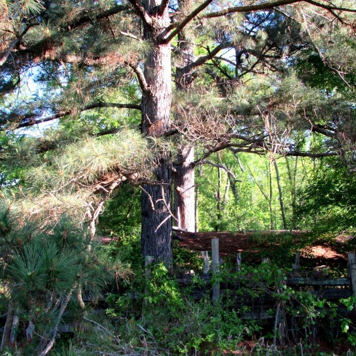 barn pine tree