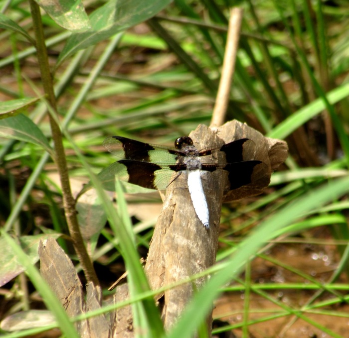 walk drangonfly