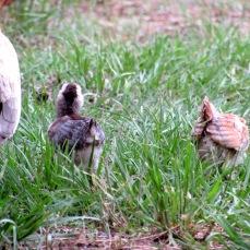 chicks 10