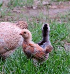 chicks 11