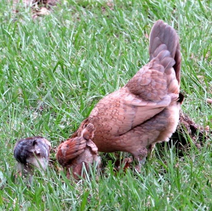 chicks 13