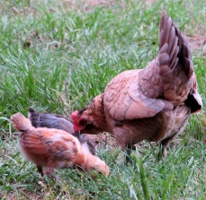 chicks 8