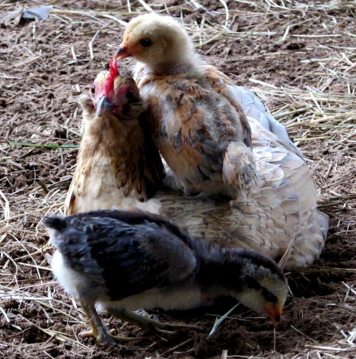 chicks19