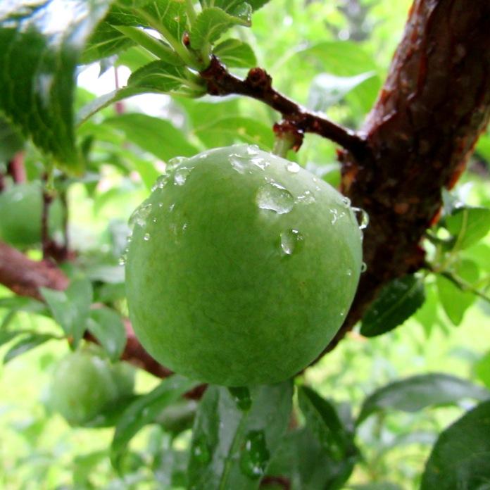 walk fruit