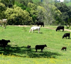 pawpaw's cows (2)