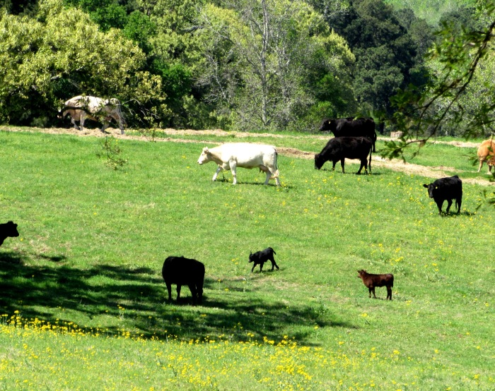 pawpaw's cows