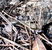 walk lizard