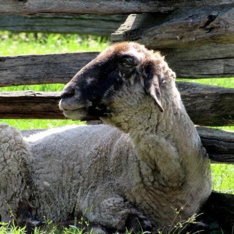 walk washington sheep