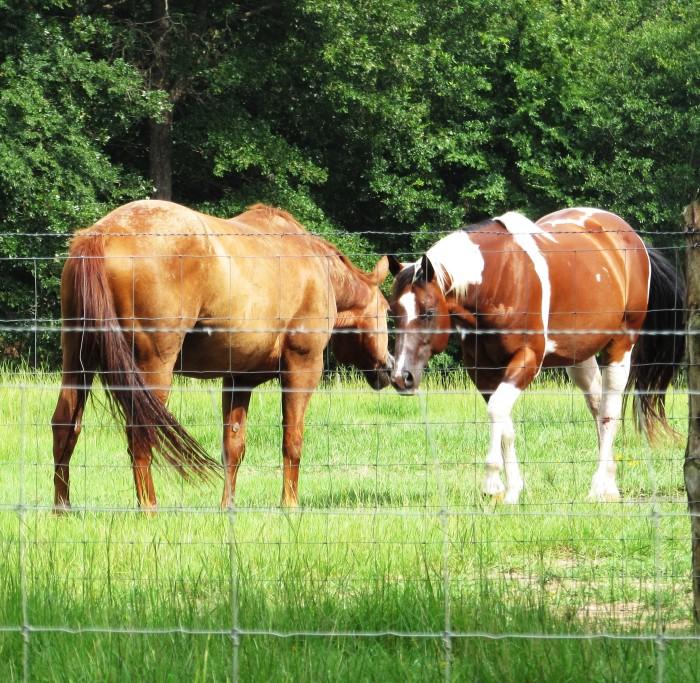 walk horse
