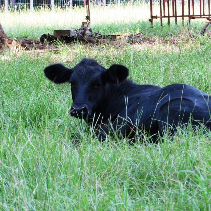 walk rachel calf