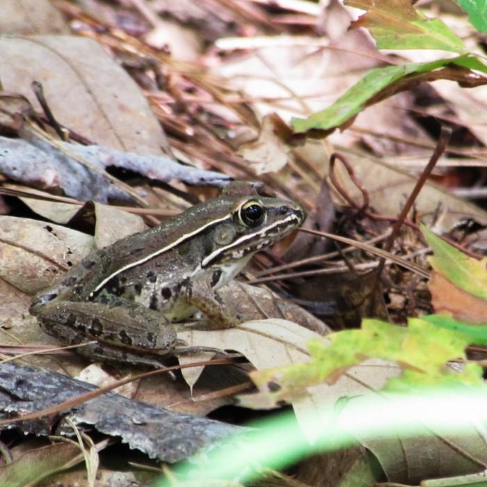 walk frog