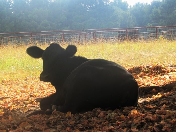 walk cow rachel