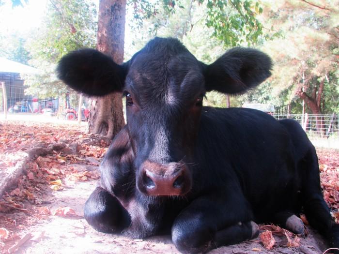 walk rachel cow