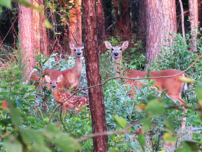 walk deer