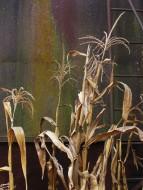 walk corn stalk